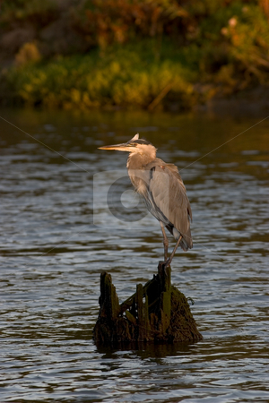 Great Blue Heron stock photo, A large heron perched on a stump in the middle of the river.  Photo was taken near Upper Newport Bay, California. by Rick Parsons