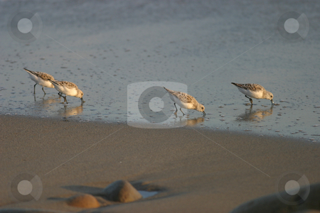 Beach Birds I stock photo, Beach birds searching for a meal along the sandy shores. by Rick Parsons
