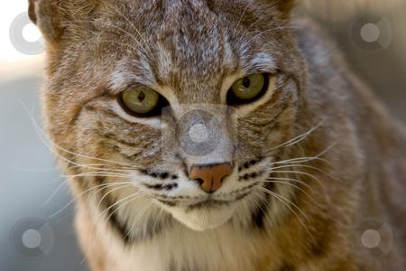 Bobcat Facial Portrait stock photo, Close-up portrait of a bobcat. by Rick Parsons