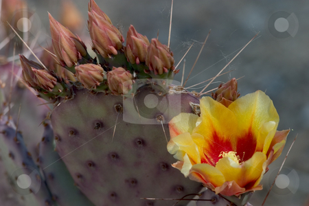 Flowering Cactus stock photo, Close-up of a typical small cactus with a single yellow and red flower on it. by Rick Parsons