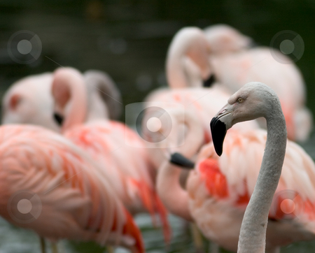 Flamingos stock photo, A flamboyance (group) of flamingos.  One in focus in the foreground, the rest are blurred. by Rick Parsons