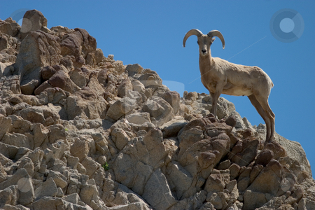 Bighorn Sheep stock photo, Profile of a bighorn sheep on rocky ridgeline. by Rick Parsons