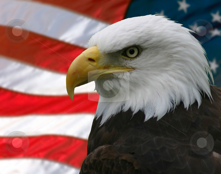 Bald Eagle and Flag stock photo, Portrait/Profile of a bald eagle, taken from the side, slightly off-centre; superimposed over the American flag. by Rick Parsons
