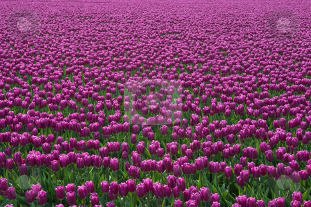 Purple Tulips stock photo, A field of purple tulips at the Skagit Valley Tulip Festival. by Rick Parsons