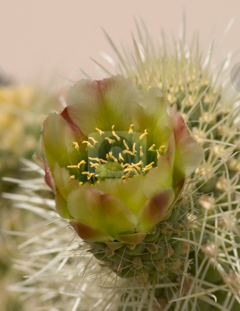 Cholla Flower stock photo, Close-up of a Cholla Flower. by Rick Parsons