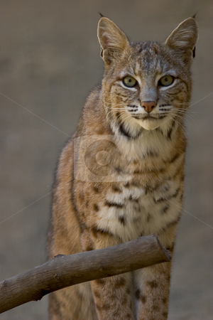 Portrait of a Bobcat stock photo, 3/4 length portrait of a bobcat, staring into the camera. by Rick Parsons