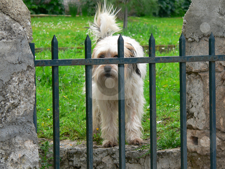 Barking dog stock photo, West Highland White Terrier standing in his garden defending his territory by Casinozack