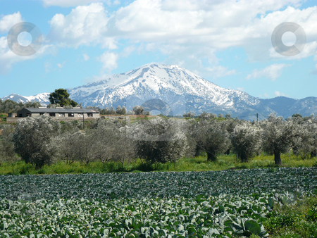 Mountain and cabbage stock photo, Cabbage field with a snow capped mountain in the background on the island of evia in greece by Casinozack