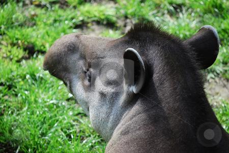 Tapir stock photo,  by Sarka