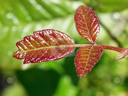 Closeup of three red leaves against green background stock photo, Three red leaves closeup with blurred green background by Jeff Cleveland