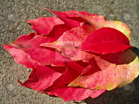 Four red leaves stock photo, Four red leaves in fall season by Roberto Marinello