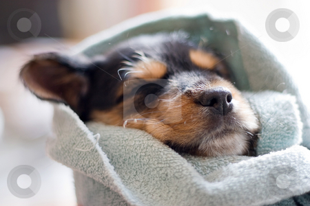 Sleeping Puppy stock photo, A an adorable puppy all wrapped up in a blanket. by Todd Arena
