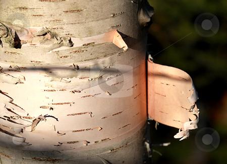 Birch Bark stock photo, Birch bark tree by R Deron