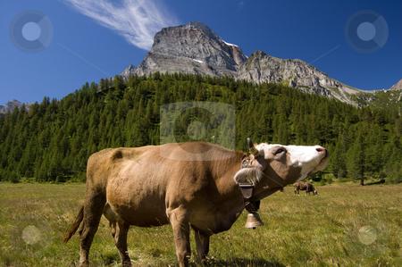 Cow in Alpe Veglia mountain pasture stock photo, Cow in Alpe Veglia italian natural park and Monte Leone in background, Piemonte, Italy by Roberto Marinello
