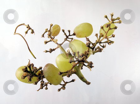 Grapes on a vine. stock photo, Grapes left on a vine after the beast have been eaten. by Ian Langley