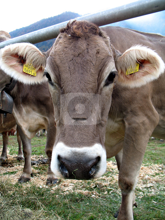 Muzzle cow stock photo, Calf is looking into the camera. Cattle fair in Val Vigezzo, VB, Italy by Roberto Marinello