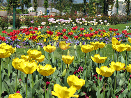 Yellow and red tulips stock photo, Yellow, red, white tulips and violets in a garden near Lago Maggiore, Italy by Roberto Marinello