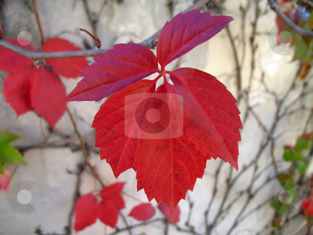 Red leaf in september stock photo, A red-brown leaf of woodbine in September (clipping path) by Roberto Marinello
