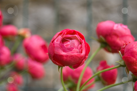 Red little roses stock photo, Little red roses in a garden by Roberto Marinello