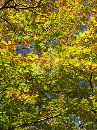 Green golden foliage stock photo, Green-golden foliage and branches of an big chestnut tree by Roberto Marinello