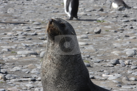 Antarctic Fur Seal stock photo,  by Chris Budd