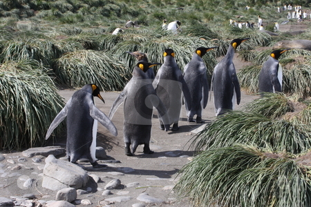 Penguins walking in line through the tuft grass in Antarctica stock photo,  by Chris Budd