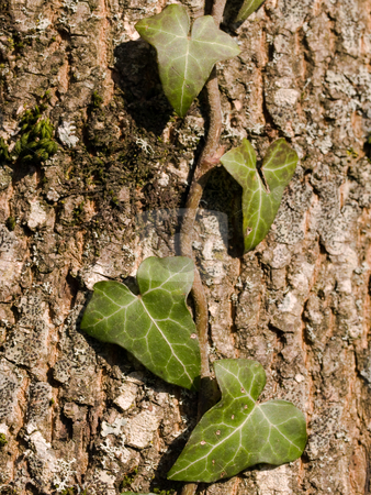 Ivy leaves in forest stock photo, Green ivy leaves on a tree trunk in sunlight. by FEL Yannick