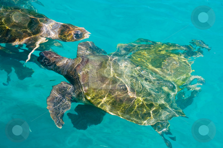 Swimming sea turtles  stock photo, Swimming sea turtles in clear turquoise sea water by Karin Claus
