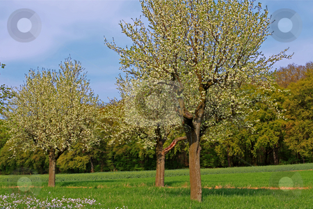 Spring meadow with flowering apple trees stock photo, Spring meadow with flowering apple trees in Frankfurt Main, Germany;photographed in April 2009 by Manuela Schueler