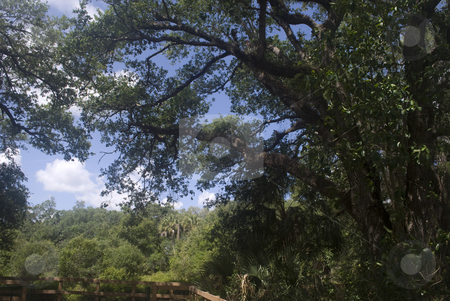 Oak Tree in Florida Preserve stock photo, Oak tree hamock in a florida preserve by Robert Cabrera