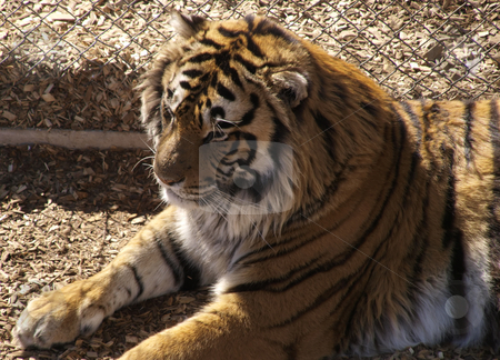Tiger stock photo, Color image of a tiger laying down. by Michael Rice