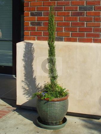 Italian Cypress stock photo,  by Michael Felix