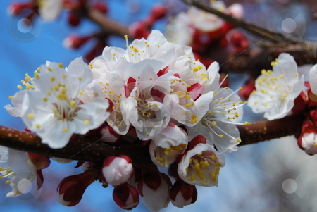 Close-up apricot flowers stock photo, Apricot in blossom by Leyla Akhundova