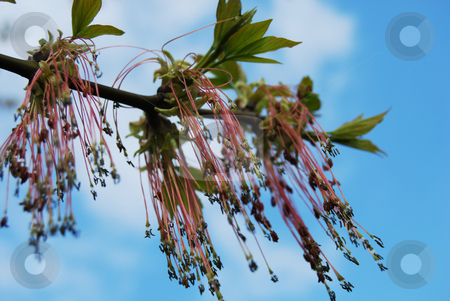 Ash tree in blossom stock photo, Fraxinus excelsior by Leyla Akhundova