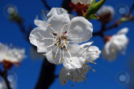 Cherry flower  stock photo, Closeup white cherry flower in blossom by Leyla Akhundova