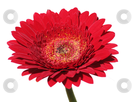 Red Gerbera stock photo, Red gerbera flower isolated on white background by Helen Shorey