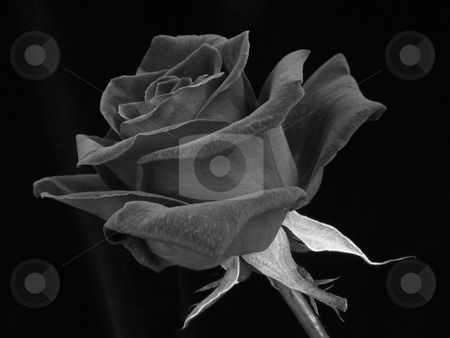Red Rose on Black stock photo, Single red rose on plain black background by Helen Shorey