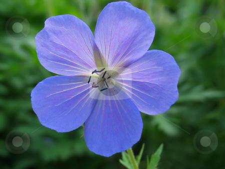 Blue Geranium Flower stock photo, Macro of a blue geranium flower (perennial) showing the stamens and fallen pollen by Helen Shorey