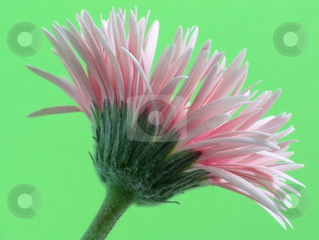 Pale Pink Gerbera stock photo, Pale pink Gerbera with very narrow petals, isolated against a vivid green background by Helen Shorey