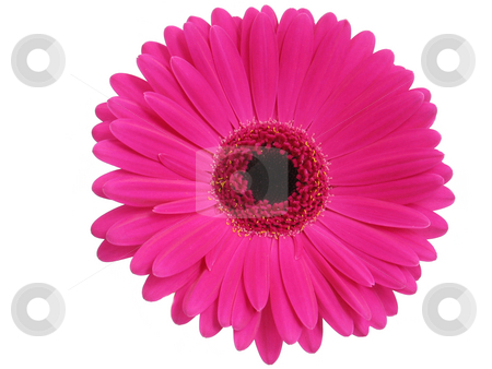 Hot Pink Gerbera stock photo, Hot pink gerbera, isolated on white by Helen Shorey