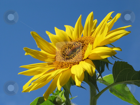 Facing the Sun stock photo, Sunflower lifting its face to the sun by Helen Shorey