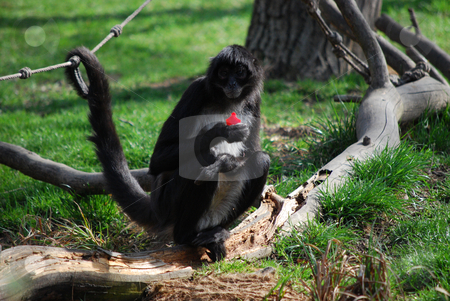 Monkey stock photo, A monkey in Prague zoo by Sarka