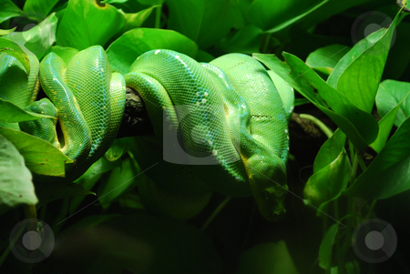 Green tree python stock photo, Green tree pythons in prague zoo by Sarka