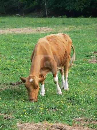Young cow  stock photo, A young cow on the field eating grass alone. by Horst Petzold