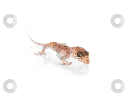 Funky Gecko stock photo, Studio shot of gecko over glass white background, with reflection on bottom by iodrakon