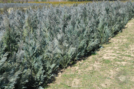 Thuja rows stock photo, Natural green conifer thuja planting garden outdoor by Julija Sapic