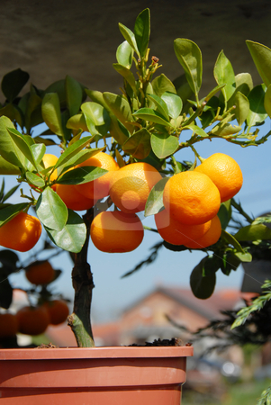 Planting mandarins stock photo, Flowerpot with mandarin tree with leaves and fruits by Julija Sapic
