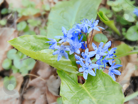 First spring flowers stock photo, First spring blue forest flowers background by Julija Sapic