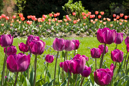 Violet tulips in a garden stock photo, Violet tulips in a garden with red tulips in background by Roberto Marinello