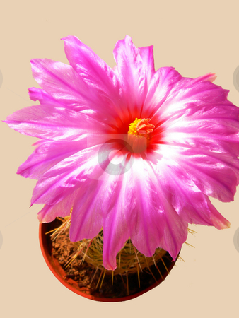 Blooming cactus   stock photo, The flower of an blooming cactus witch last only 6 hours to bloom. by Horst Petzold